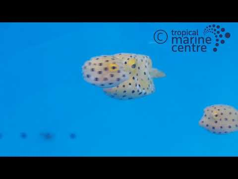 Boxfish - Yellow