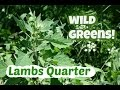 watch he video of Picking and eating lambs quarter: with the only recipe you need