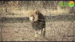 Lion Alert - Save Africa's Lions!