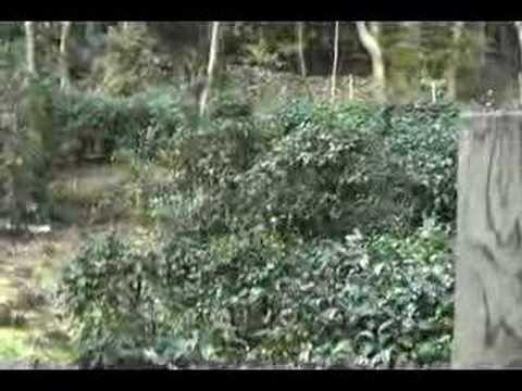 Kouzanji (tea plantation)