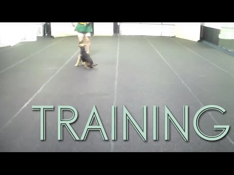 AKC Canine Good Citizen Dog Training - Welsh Terrier Buckley