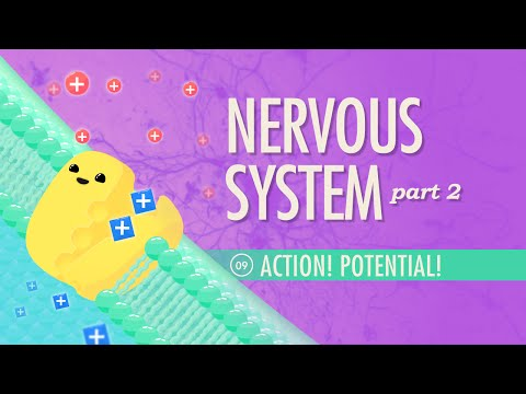 nervous system i action potential From the national learning network materials' biology collection this interactive resource shows how nerve signals, or action potentials, are transmitted along a.