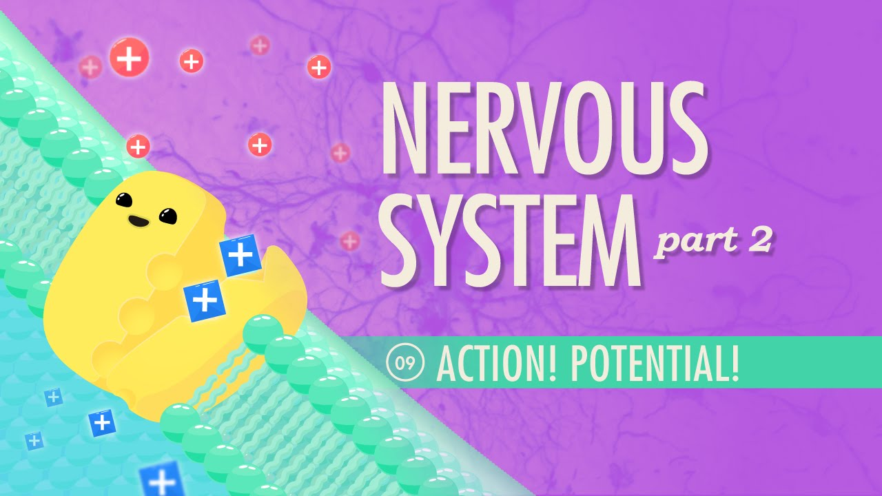 The Nervous System, Part 2 - Action! Potential!: Crash Course A&P #9 ...