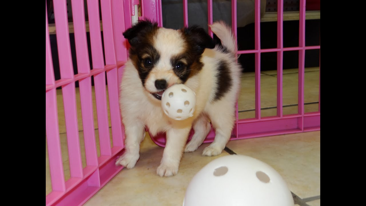 Papillon Puppies Dogs For Sale In Atlanta Georgia GA