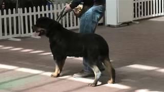 Ротвейлер. Выставка собак Одесса. Ривьера. Лучшие собаки. Черное море и Одесская весна. VLOG DOG.
