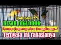 Ternak Lovebird Tanpa Jagung Dan Kangkung Besar Di Glodok Bamis Lovebird Farm  Mp3 - Mp4 Download