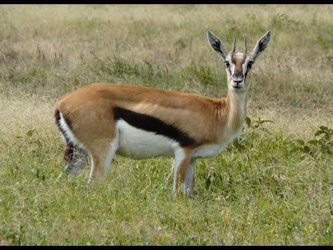 Impala    Impala animal sound    Impala prepare to run ... - photo#1