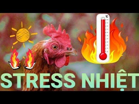 Kinh nghiệm chống stress nhiệt cho gà