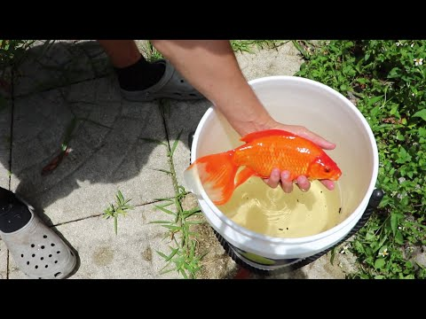 SAVING GOLFISH FROM DRIED UP PUDDLE!!