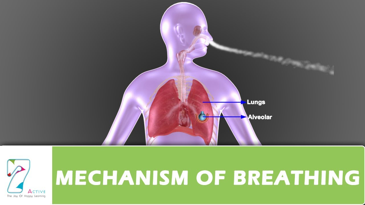 Mechanism of breathing part 01 youtube ccuart Choice Image