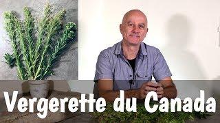 Vergerette du Canada : inflammations intestinales, élimination acide urique