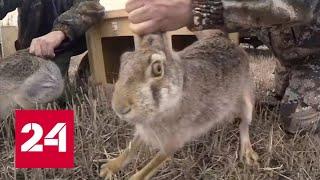 Уникальный опыт для страны: 20 зайцев-русаков выпустили в Азовском районе - Россия 24