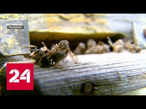 Пасеки смерти: почему пчелы массово гибнут - Россия 24
