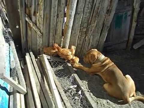 Бордоский дог лежит в засаде на курочку) Весенняя прогулка с собаками