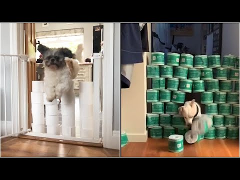 Dogs take part in hilarious 'toilet roll jumping show' | Dogs vs Toilet Roll