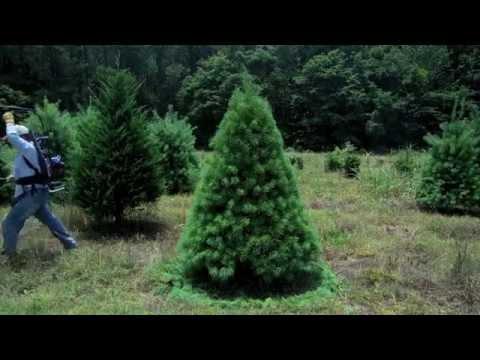 White Pine Pruning