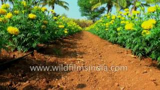 Marigold cultivation in India: gaindha flowers are used in prayer