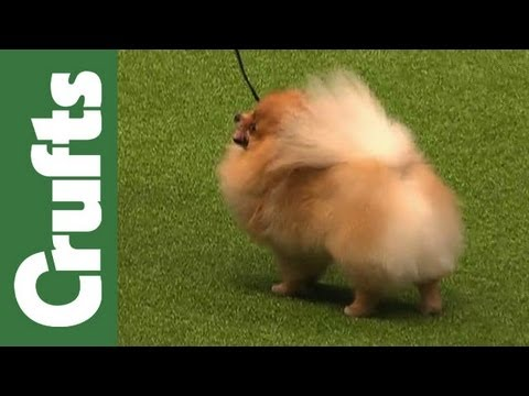 The Kennel Club Breeders Competition - Final Judging - Crufts 2012