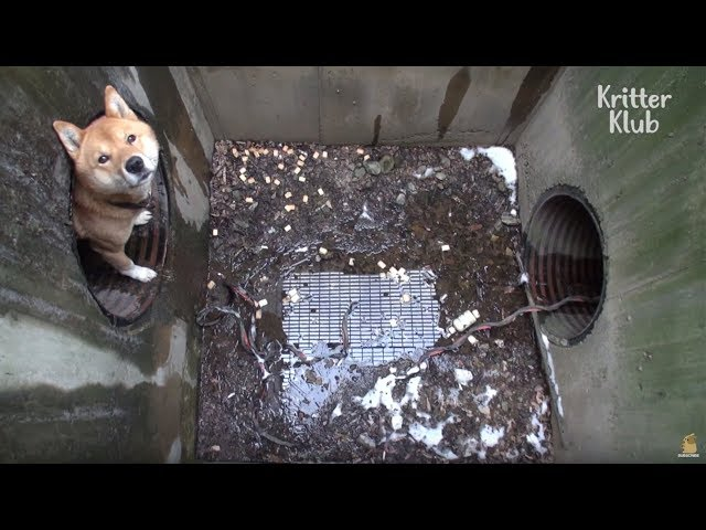 Dog Trapped In A Sewer System  | Animal in Crisis EP10