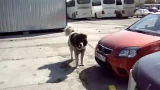 Бешеная собака атакует