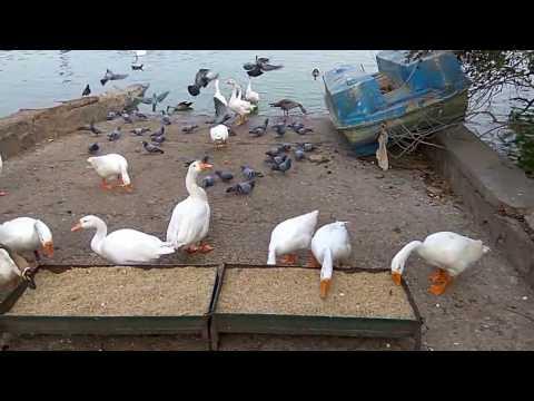 Duck & Pigeon #duck #pigeon