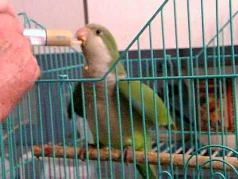 Quaker Parrot Baby Quaking