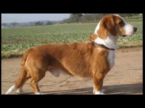 Westphalian Dachsbracke - small dog breed