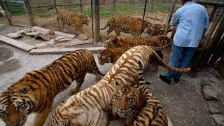 The Live of the American Tiger - National Geographic Documentary