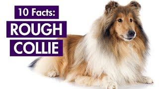 Rough Collie 101: Top 10 Facts You Should Know [Lassie's Breed]