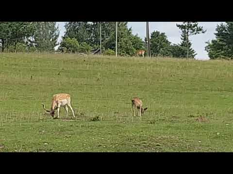 Fallow deers and Mouflons