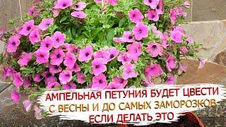 Вот что нужно для пышного цветения ампельной петунии!