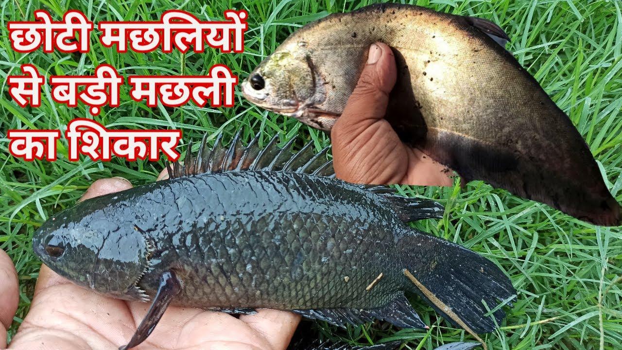 छोटी मछलियों से बड़ी मछली का शिकार || किस छोटी मछली से कौन सी बड़ी मछली का शिकार होगा || part 2