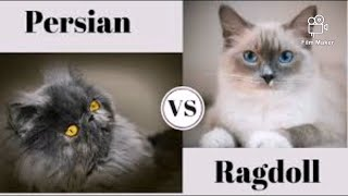Ragdoll vs Persian. What are the differences?