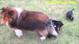 Canil Mina Da Mata- Ninhada De Yorkshire Terrier