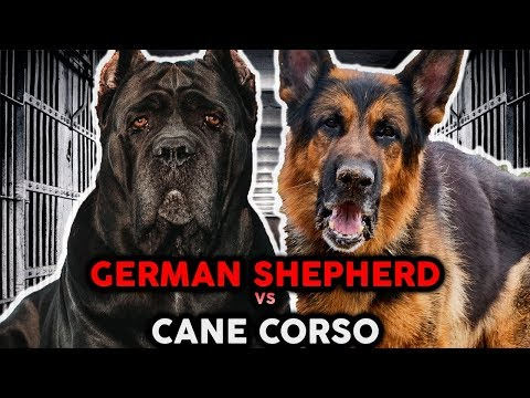 CANE CORSO VS GERMAN SHEPHERD! The Best Guard Dog Breed!