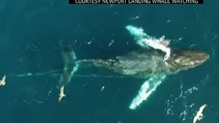 Raw: Humpback Whale Entangled in Fishing Line