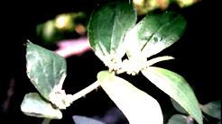 Tawa Tawa: Health Benefits of Tawa Tawa Herbs Leaves - Euphorbia Hirta - Tawa-Tawa