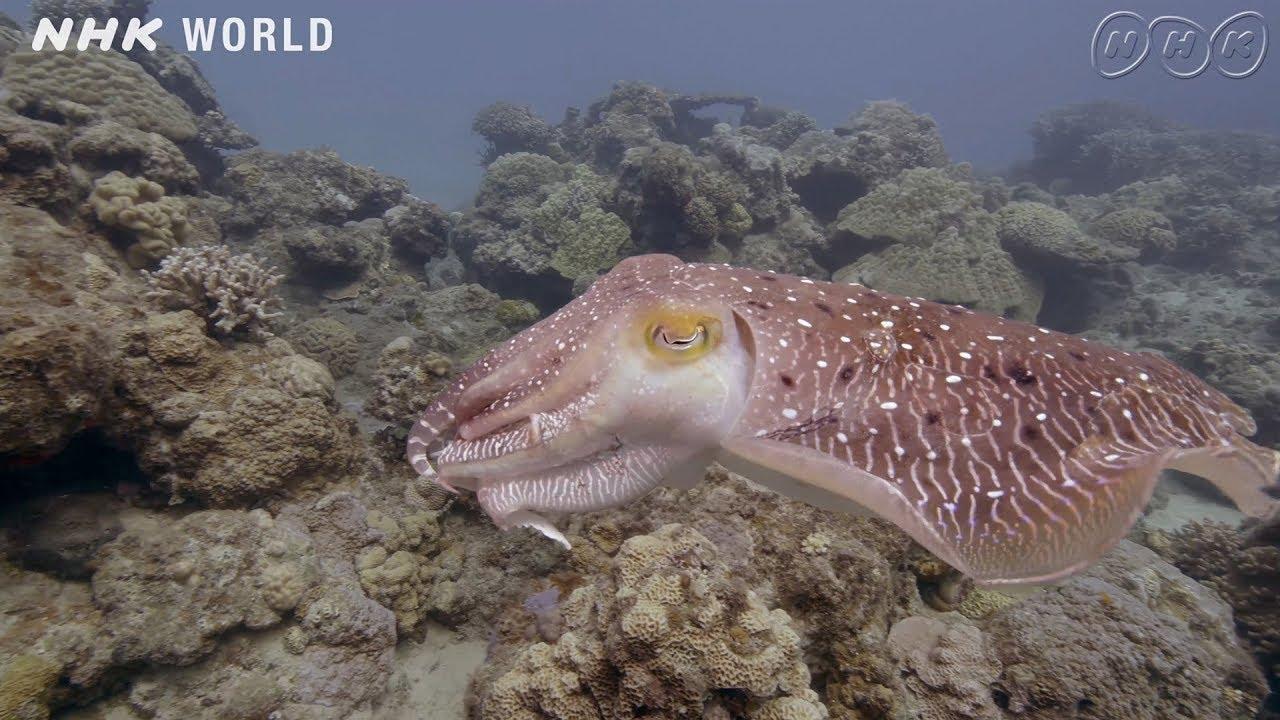 Photo of Cuttlefish Cruises the Coral Reef – Amami Oshima (Kagoshima) [4K UHD] – video