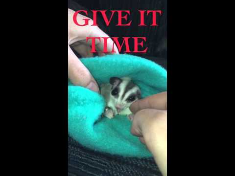 How to bond with a Sugar Glider