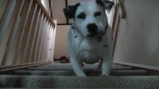 My Wonderfull Dog Amy 1/2 - Staffie 1/2 Dalmation.