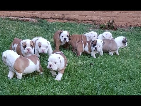 Know About English Bulldog Puppies for Sale by dogsbreedofficial