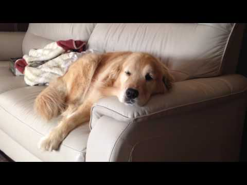 The golden retriever Alia on the sofa in the morning!