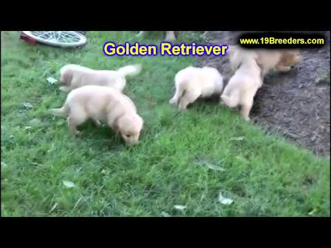 golden-retriever,-puppies,-for,-sale,-in,-minneapolis,-minnesota,-mn,-inver-grove-heights,-roseville