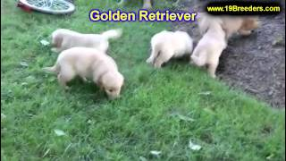 Golden Retriever, Puppies, For, Sale, In, Minneapolis, Minnesota, Mn, Inver Grove Heights, Roseville