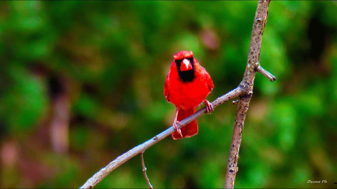 fighting female cardinal bird april 2015 full hd youtube
