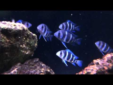Baby Frontosa Cichlid Frontosa Blue zaire mo...