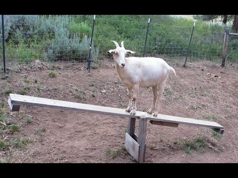 'Goats on Teeter Totters - Compilation' || CFS