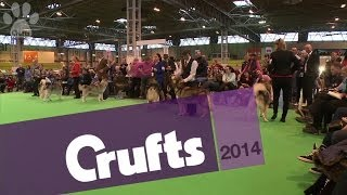 Best of Breed | Alaskan Malamute | Crufts 2014