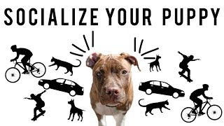 SOCIALIZE YOUR PUPPY | New York Bully Crew