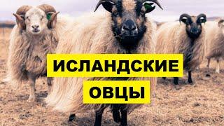 Разведение овец Исландской породы как бизнес | Овцеводство | Исландские овцы